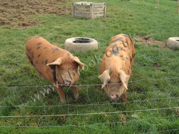 Oxford Sandy and Black Pigs