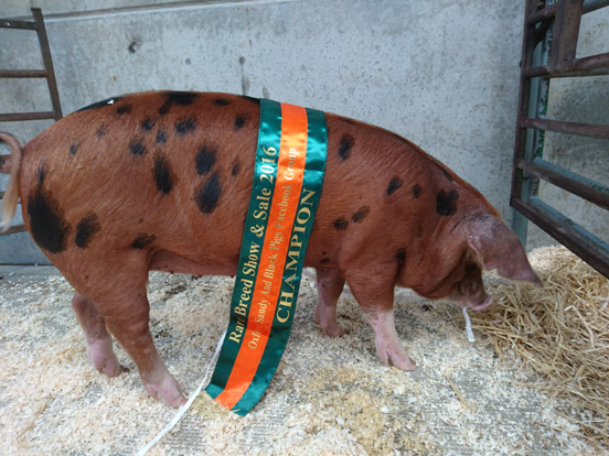 Oxford Sandy and Black Pig Champion Gilt